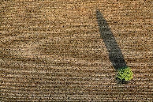 Tree in cornfield