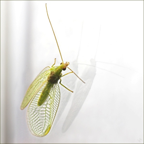 Reflections on a Lacewing