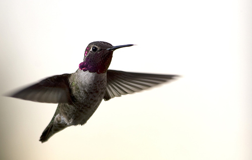 Hummingbird Dive Bomber by peasap
