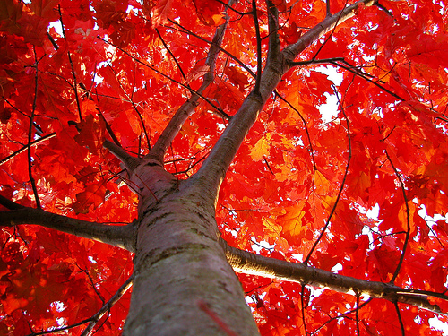 Flaming Red Oak by CaptPiper