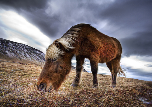 An Icelandic Horse in the Wild by Stuck in Customs