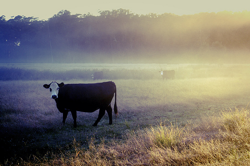 Sunrise and a cow