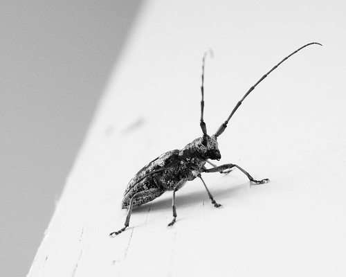 Bug - High Key - B&W