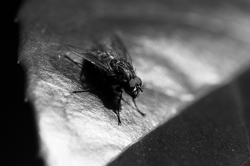 Canon 100mm Macro Fly