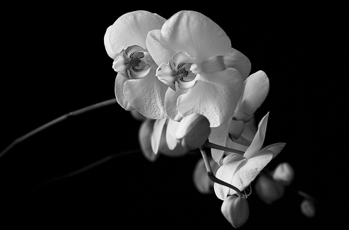 White Phalaeneopsis Orchid III