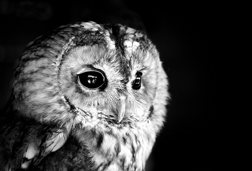 20 Incredible Pictures of Owls Baby Owl Black And White