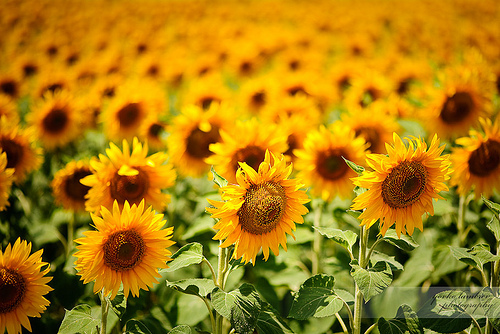 beautiful pictures of sunflowers, Beautiful flower
