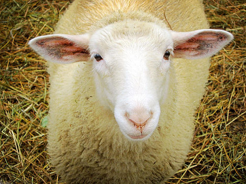 26 Magnificent Sheep Pictures