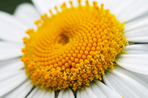 The Center of a Daisy