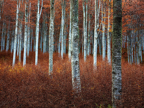 Beech Wood IV