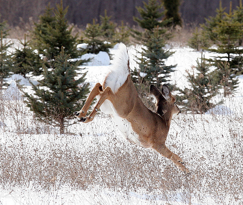 Graceful Deer