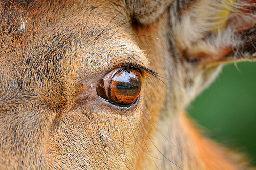 The Eye of the Deer
