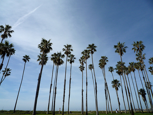 Palm Trees In Santa Barbara, California