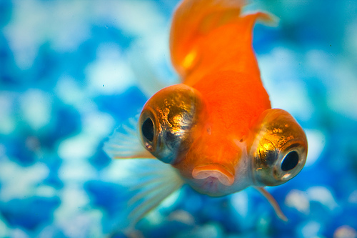 goldfish. 19 Cool Pictures of Goldfish