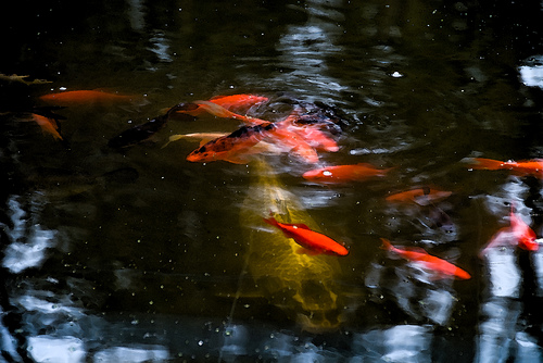 Koi & Gold Fish
