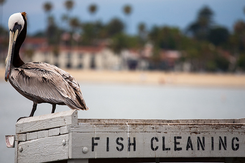 Santa Barbara - Fish Cleaning