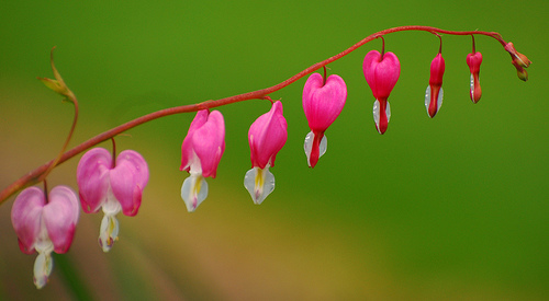 My mom's bleeding heart flower