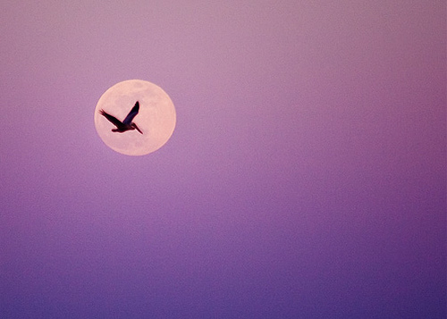 Pelican in the Moonlight
