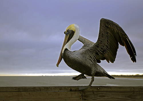 Karate Kid Pelican