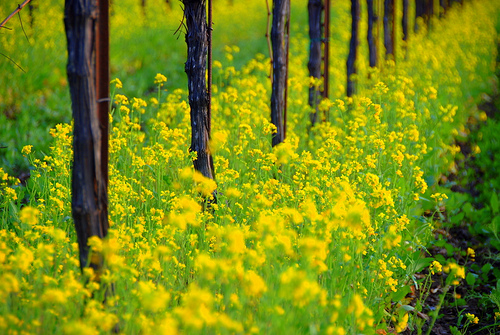 Mustard Flowers in Vineyards
