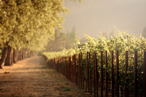 Vineyards - Napa Valley, California