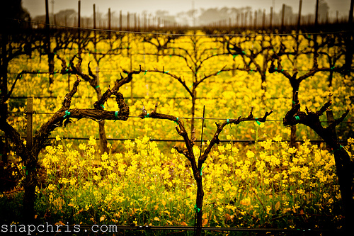 vineyards and mustard in Napa Valley