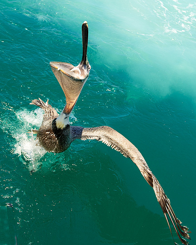 Hungry Pelican