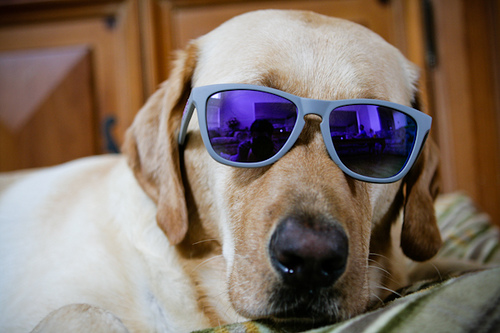 Cool dogs with sunglasses - photo#17