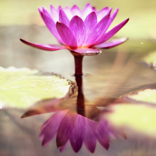 Memories of a water lily's dream