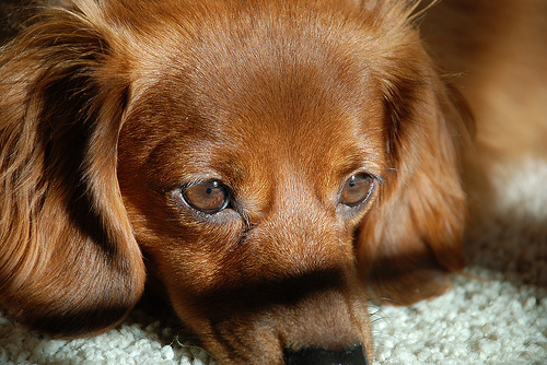 The Prettiest Dachshund in the World!