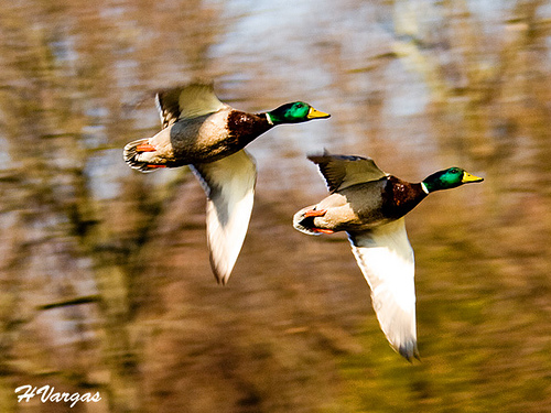 Inflight Ducks