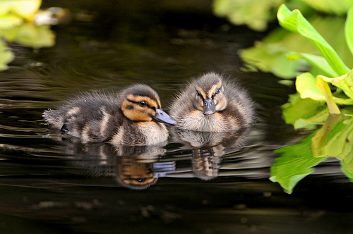 Sweet ducklings