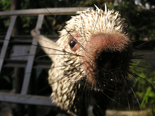 Porcupine says hello
