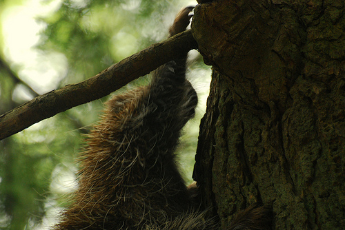 Common Porcupine