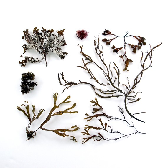 Beachcombing series No.13 - Seaweed, Bar Harbor, Maine