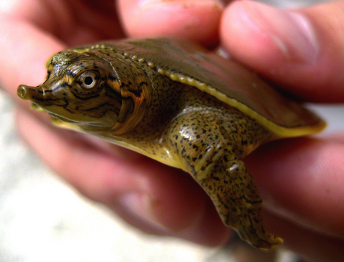 baby snapper turtle