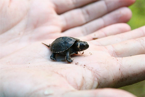 Threatened baby bog turtle