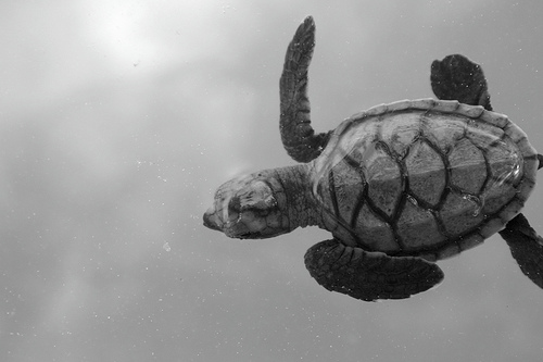 swimming baby turtle