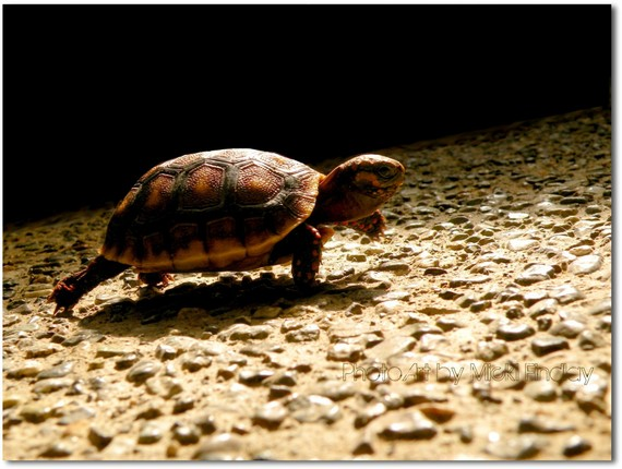Baby turtle walking