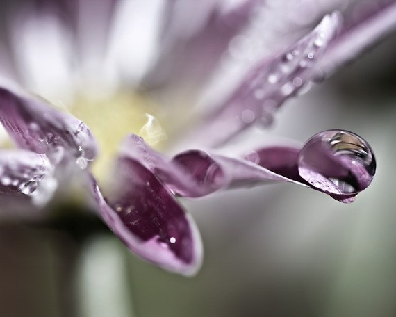 Plum purple rain water drops daisy flower