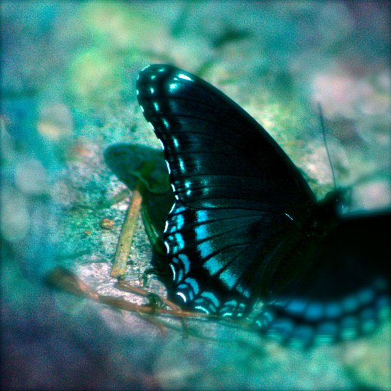 black, blue, butterfly, Captured