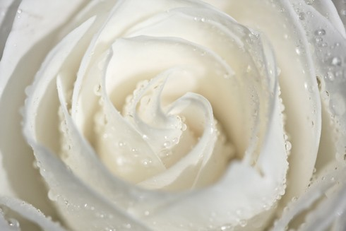 white romantic rose dew
