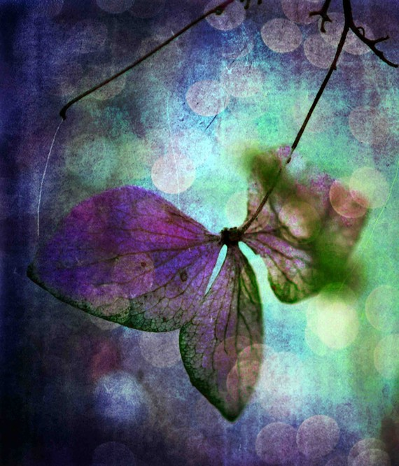 hydrangea flower, Fairy Wings