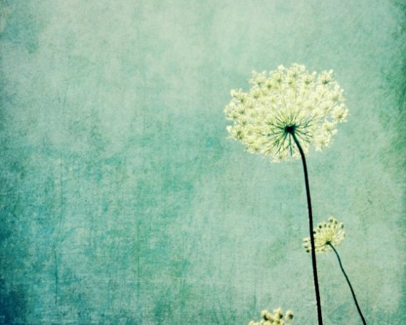 Queen Anne Lace pastel blue wildflower photograph soft faded blue soft texture pale blue white flower