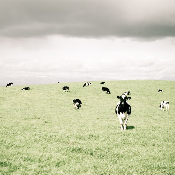 Cow photograph Black and white green hill farm country pale sky clouds