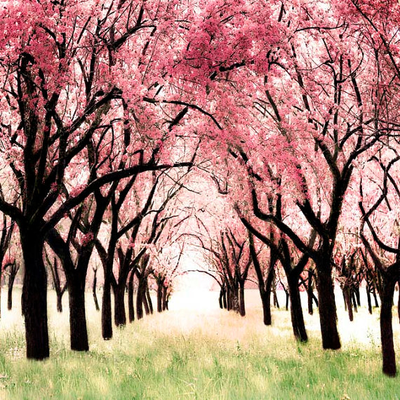 Cherry Blossom Orchard