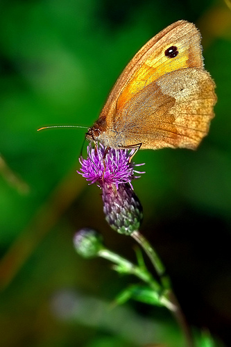 Thistle with butterfly...