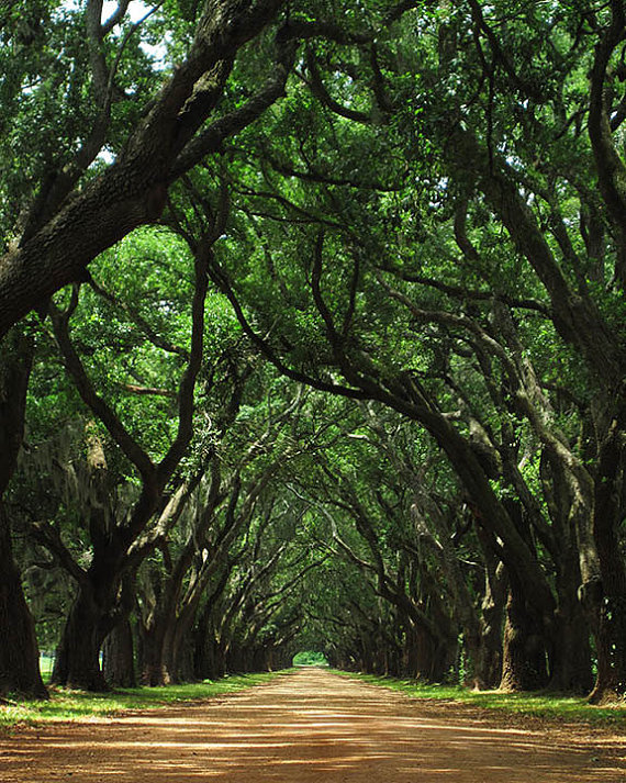 Louisiana Canopy of Oaks