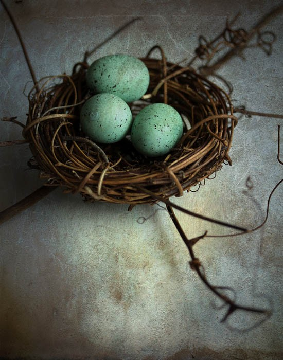 birds nest robins eggs