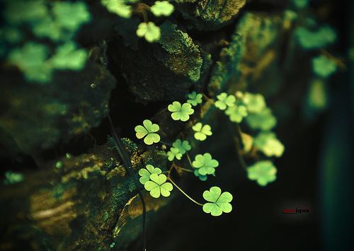 clovers shamrocks